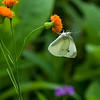 DSC_4151 cabbage white butterfly