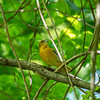 Could be a female yellow warbler, but I'm not sure