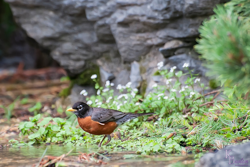 DSC_5428 Robin wading