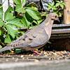 DSC_3322 morning dove