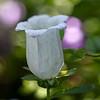 DSC_3739 Bell flower