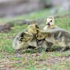 DSC_3969 goslings