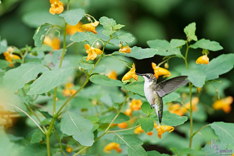 DSC_7774 the hummingbirds of Clove Lake_DxO