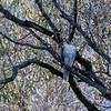 DSC_2881 redtailed hawk