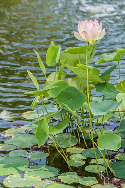DSC_4055 water lily