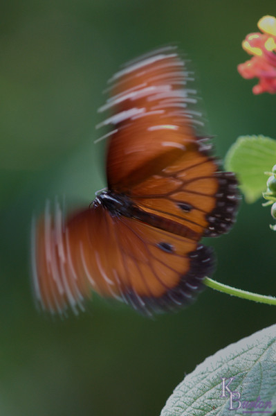 My old manual focus 200mm Micro lens has captured several of the sharp shots in this gallery, but in this case it accidentally created art, for as the shutter speed I chose was high enough to freeze most of the butterflies moving as they flittered about, this one trying to balance itself on it's precarious footing, beat its' wings at a rate that out paced my shutter. When I looked at the shot later I rather liked the effect.