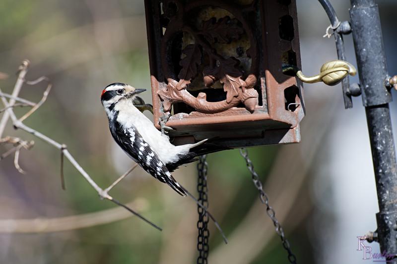DSC_6125 backyard visitors_DxO