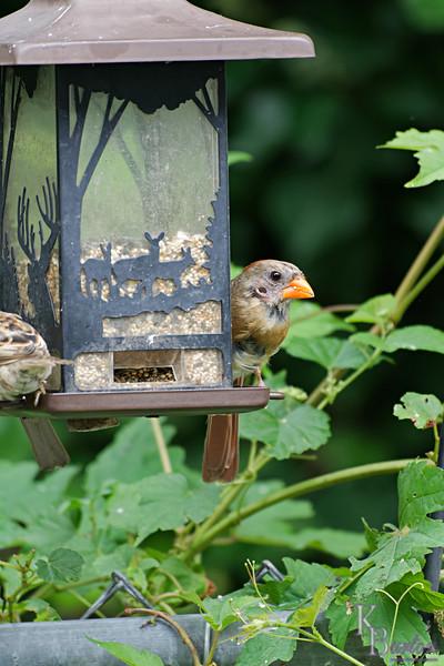 DSC_5972 female cardinal