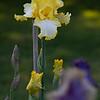 DSC_7938 yellow iris