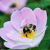 DSC_6069 bumblebee