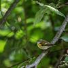 DSC_5953 warbler