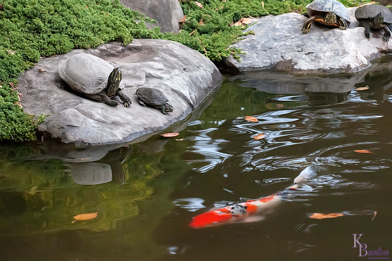 As I was taking pictures of people looking at the colorful koi in this, the most famous pond of Brooklyn's Botanical Gardens, I noticed several metal statues of turtles. Having seen one or two of them before I didn't pay much attention to them - until that is that I spotted one of the statues tilting it's head. Then I realized only the 2 turtles on the far right (out of the picture) were statues, the 4 to the left were all real. And the one closest to me was the most convincing. It's shell (absolutely caked with mud) looked for all the world like a statue, until you looked a little closer and then said to yourself - man that's the most realistic statue I'd ever seen.