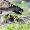 DSC_3905 goslings
