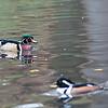 DSC_8351 wood duck