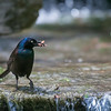 DSC_7134 Grackle with insect