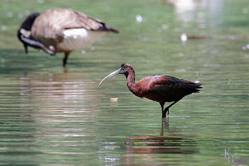 DSC_0702 scarlet ibis_DxO