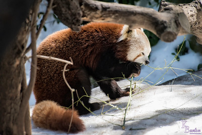 My first time coming to the Red Panda's habitat here at the Central Park zoo.  With the snow still on the ground from last weeks storm, it seemed like a good time to check it out.
