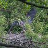 DSC_8499 returning to the nest