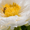 DSC_7713 pollenator
