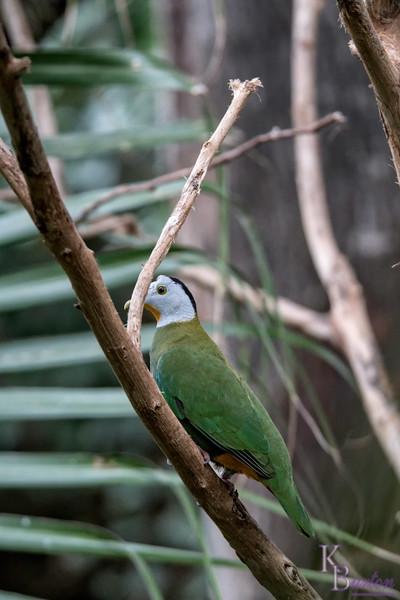 DSC_0786 fruit dove