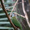 DSC_0786 fruit dove