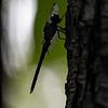 DSC_8541 dragonfly