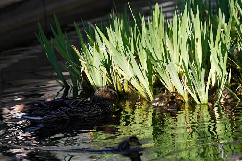 DSC_9438 the ducks of BPC