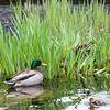 DSC_3563 duck family