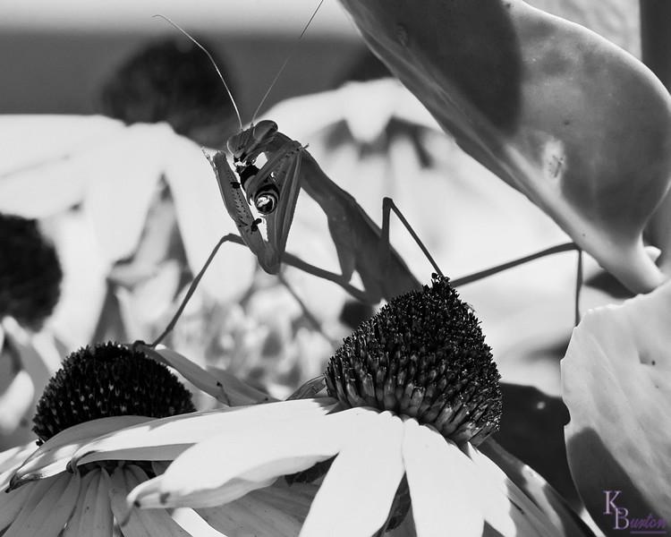 DSC_3053 praying mantis