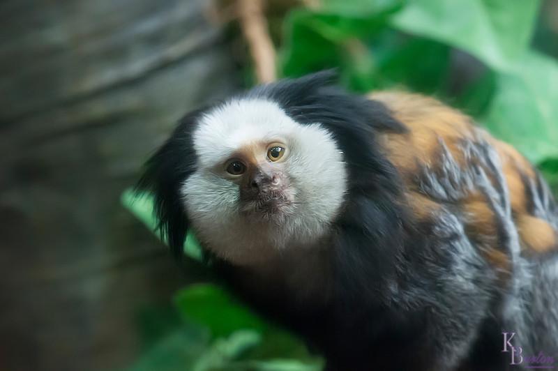 DSC_1127 Geoffery's marmoset