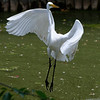 DSC_0146 great white_DxO-TSt