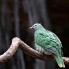 DSC_0927 fruit dove