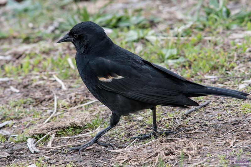 DSC_3037 redwing black bird