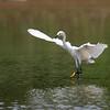DSC_1306 snowey egret_DxO (TS)(TG)
