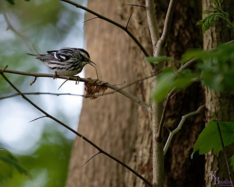 DSC_1209  black and white warbler_DxO