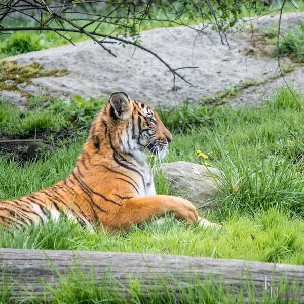 DSC_3337 tiger