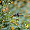 DSC_5191 hummingbird