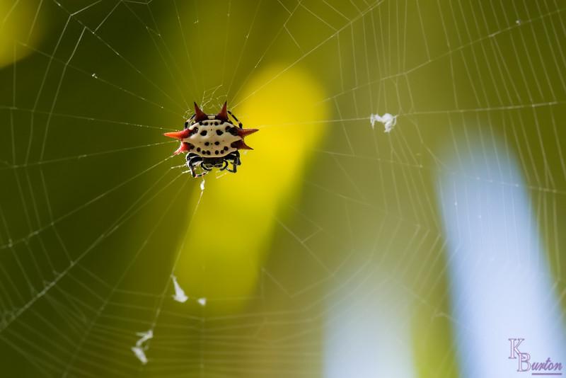 DSC_3118 spinyback spider