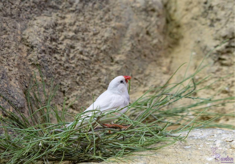 DSC_2208 white zebra finch