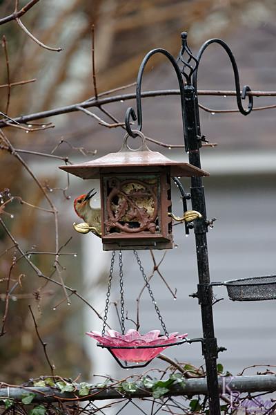 DSC_1732 backyard visitors_DxO