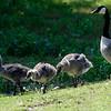 DSC_3706 goslings
