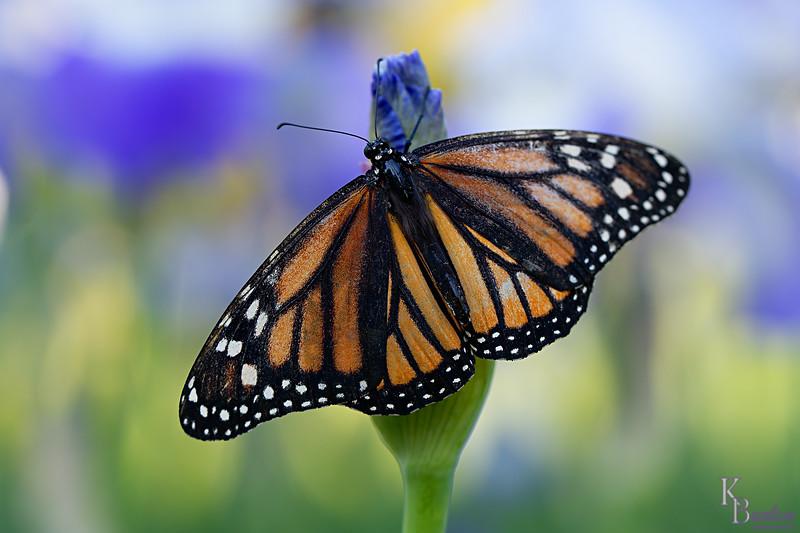 DSC_5660 monarch_DxO