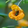 DSC_2101 scenes from the jewel weed bush