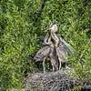 DSC_9205 Heron's nest