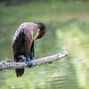 DSC_4029 cormorant