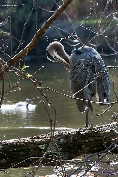 DSC_6410 great blue heron at Clove lake