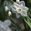 DSC_2621 daffodills