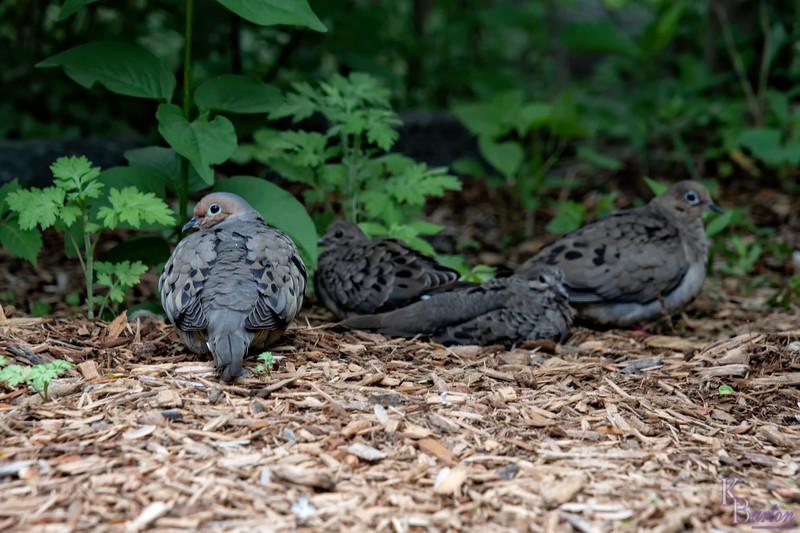 DSC_9900 family of morning doves
