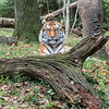 DSC_6704 asian tiger