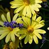 DSC_1971 yellow daisies _Nik_DxO